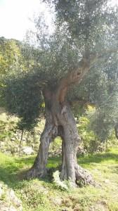 Uno spettacolo della natura: gli ulivi secolari